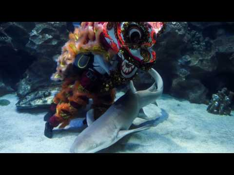 Malaysia: Underwater lion dance for Lunar New Year