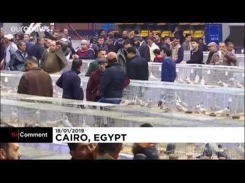 La crème des pigeons s'expose au Caire