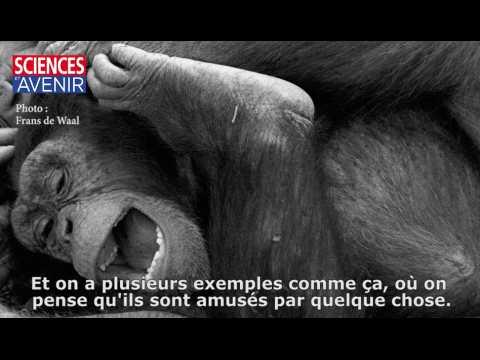 Le sens de l'humour chez les singes, entretien avec Frans de Waal