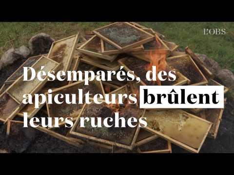 Abeilles menacées : désemparés, ces apiculteurs brûlent leurs ruches