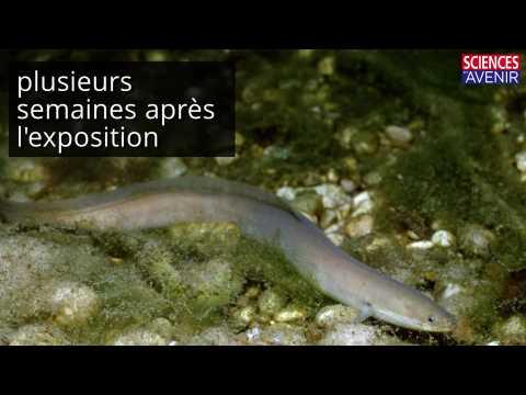 Les anguille sont menacées par la cocaïne