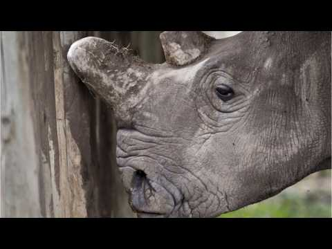 'Test-Tube Rhino' May Save Dying Species