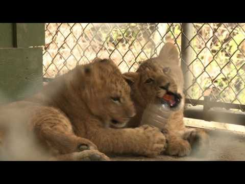 Lions cubs reunited with parents after California fires