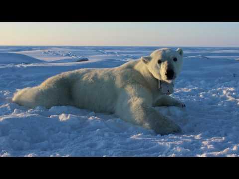 Polar Bears Face Extinction At Alarming Rate
