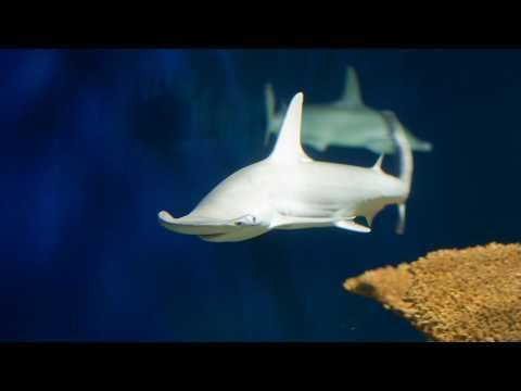 Ce requin est (quasi) végétarien