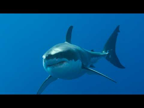 Over 5,500 Great White Sharks Live on Australia's East Coast