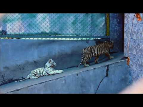 Begal Tiger Cubs play in enclosure at India safari park