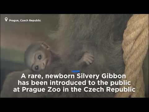 Watch: Endangered baby gibbon introduced to Prague zoo