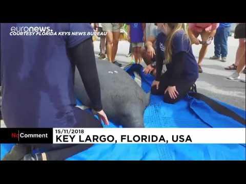 Deux lamantins jumeaux relâchés en Floride