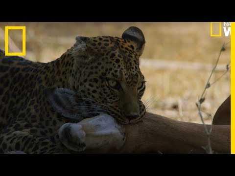 Un léopard saute d'un arbre pour tuer sa proie
