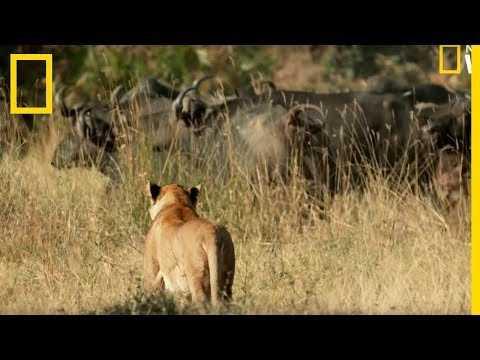 Des lions chassés par des buffles