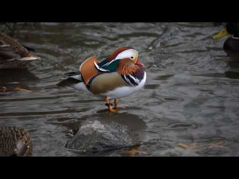 Mandarin duck continues to attract attention in Central Park