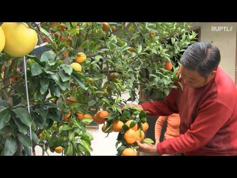 Chinese grandpa breeds tree with ELEVEN citrus species