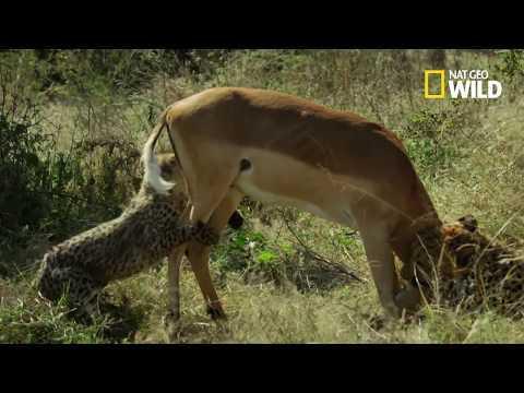 Un guépardeau aide sa mère à chasser