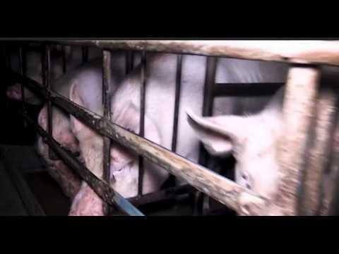 L214 dévoile les images effroyables d'élevages porcins en Bretagne