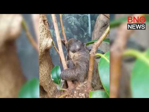 Baby two-toed sloth squirms as mum tries to sleep