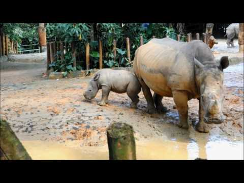 Baby white rhino meets public at Singapore Zoo