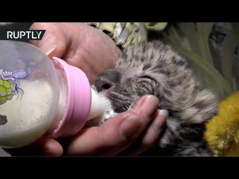 Baby Amur Leopard Cub, World's Rarest Big Cat, Born at Yalta Zoo