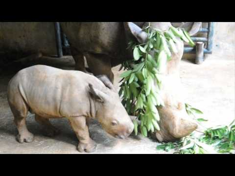 Singapore Zoo shows off baby white rhino