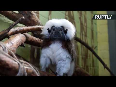 It's All Relative! Cotton-Top Tamarin Monkey Named Einstein Puzzles Zoo Visitors