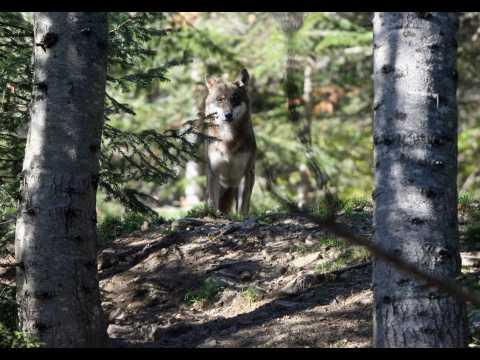 C'est décidé, 40 loups seront tués en France cette année