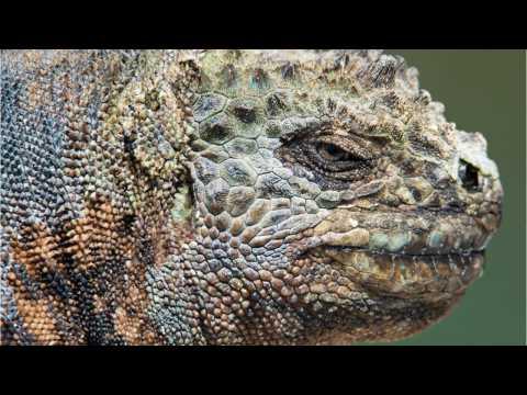 FL Wildlife Officials Are Killing Iguanas By Smashing Their Skulls