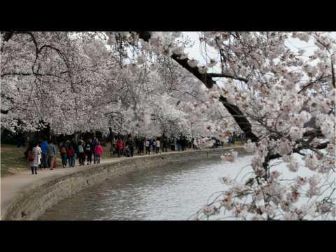 Cherry Blossoms Hitting Peak Season In Washington, D.C.
