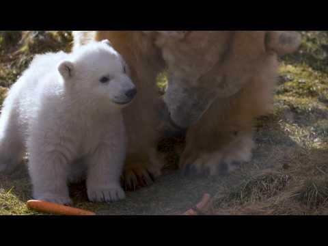 Les premières images d'un ourson polaire né en Ecosse