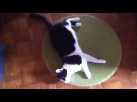 Funny cat plays dead!
