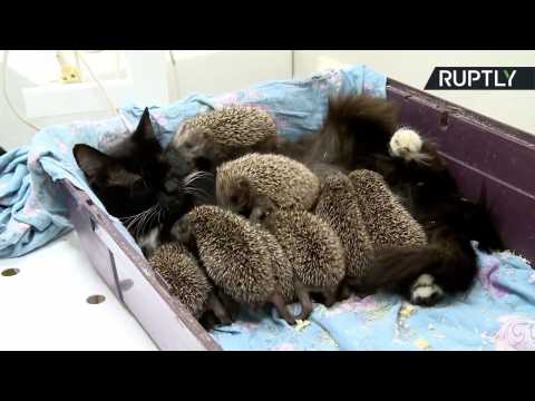 Musya the Cat Feeds 8 Orphaned Baby Hedgehogs