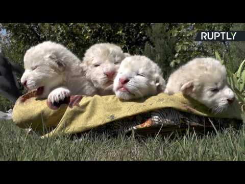 Four Ultra-Rare and Ultra-Cute White Lion Cubs Born on World Lion Day