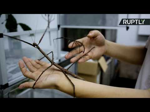 Insectophobes Beware! World's Biggest Bug is as Long as Your Arm