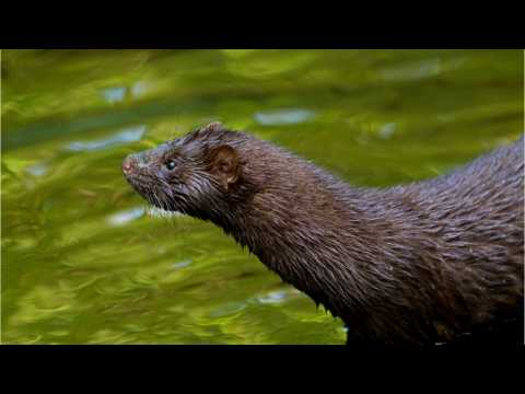 Scientists Try to Save Endangered European Mink by Killing its Rivals