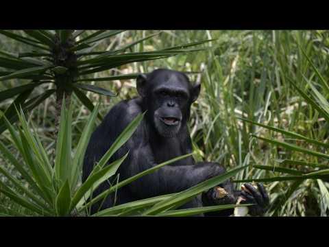 Des chimpanzés ont appris les règles de chifoumi