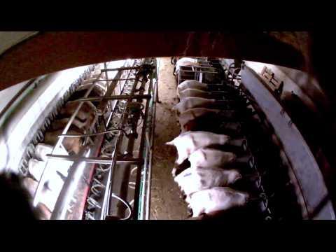 """Allemagne : des chèvres maltraitées dans un élevage """"bio"""""""