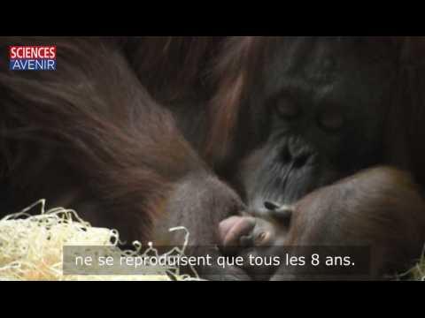 Naissance de Java l'orang-outan au Jardin des Plantes : explications d'un soigneur