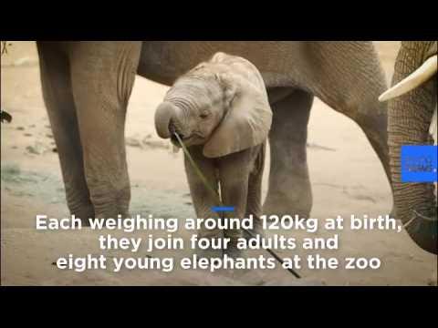 Baby elephants wow crowds at San Diego Zoo