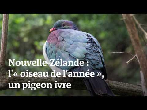 Un pigeon parfois ivre élu « oiseau de l'année »