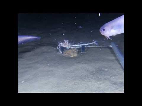 3 nouvelles espèces de poissons découvertes à 7500 m de profondeur