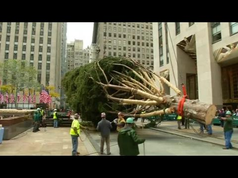 Rockefeller Center Christmas tree lifted into place