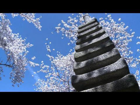 Washington enjoys cherry blossom season