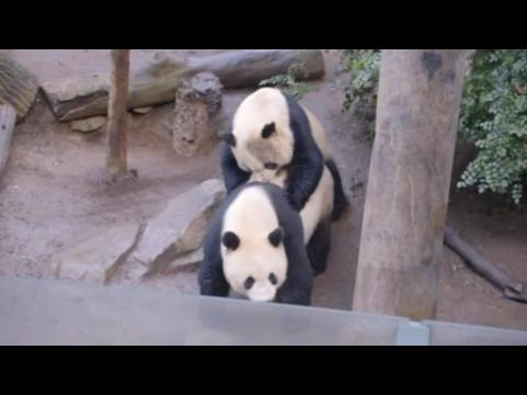 Pandas mate at San Diego Zoo