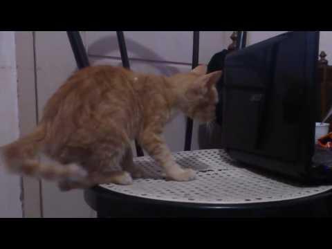 Cat doesn't like laptops
