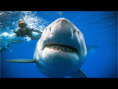Great White Sharks ... Why They're So Indestructible