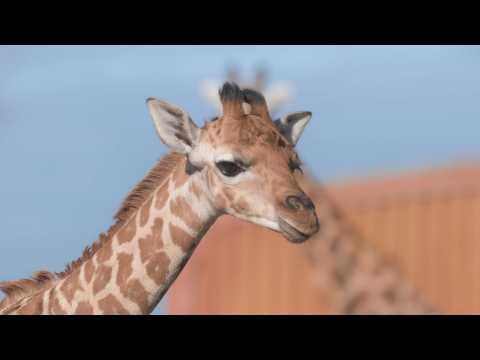 Adorable baby giraffe enjoys his first outdoor adventure at Chester Zoo