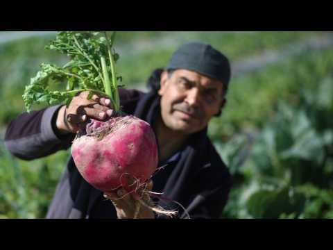 Researchers See Bright Future In Beetroot Juice As Hypertension Med