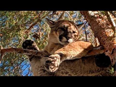 California Cougar Climbs Tree In Hesperia Backyard