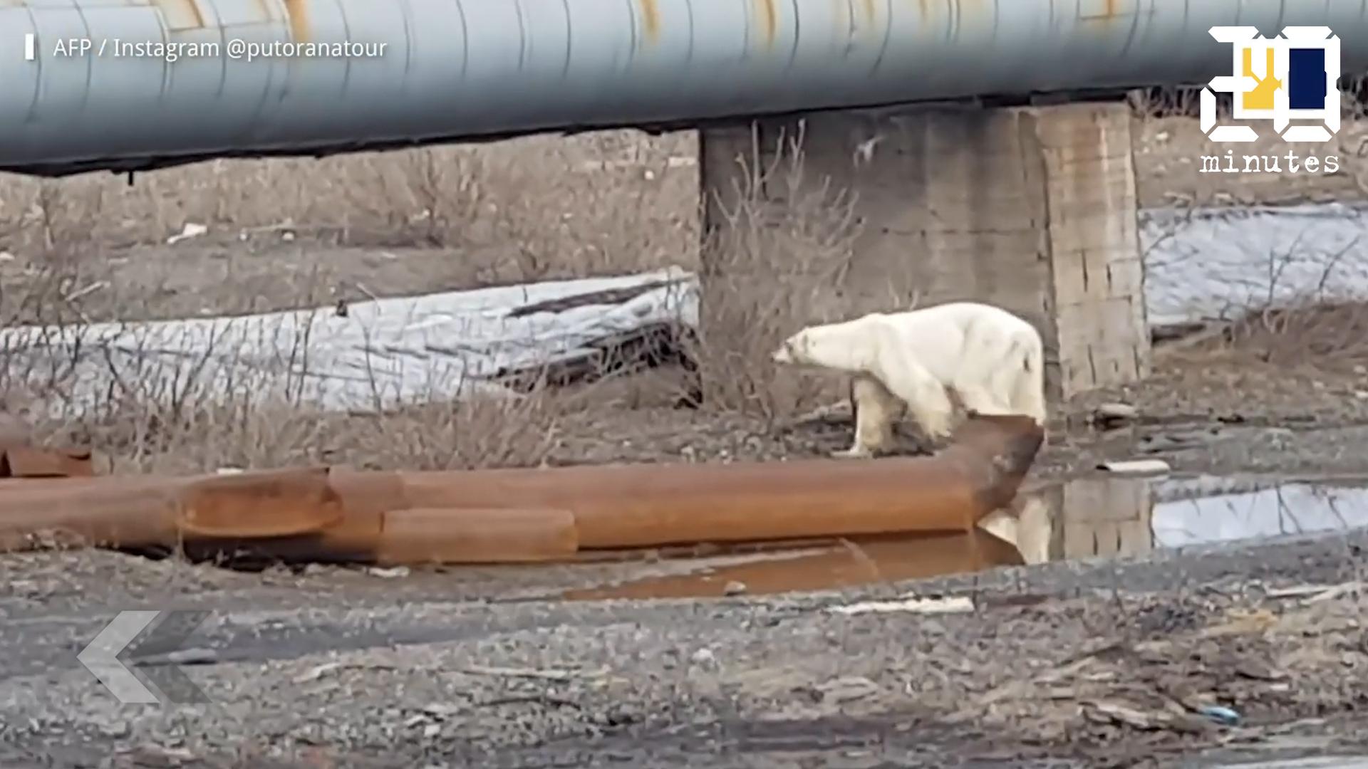 Le Rewind: Un ours blanc retrouvé à plus de 800 km de son habitat