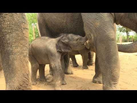 Adorable baby elephant takes her first steps at Belgium zoo