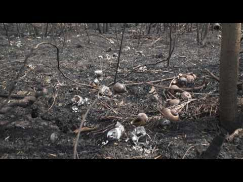 Images of damage caused by wildfires in Bolivia's Pantanal forest